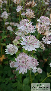 Astrantia maj. 'Rosa Lee'