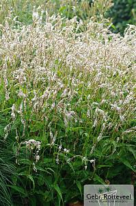 Persicaria amplex. 'White Eastfield'