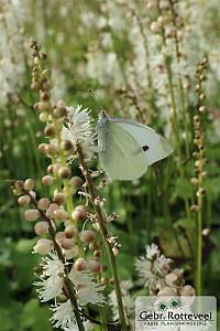 Actaea japonica 'Cheju-do'
