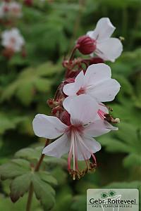 Geranium macr. 'Spessart'