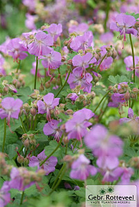 Geranium cant. 'Cambridge'