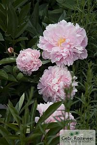 Paeonia (LD) 'Sarah Bernhardt'