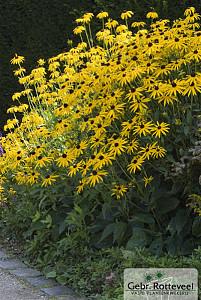 Rudbeckia f. 'Goldsturm'