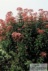 Eupatorium mac. 'Atropurpureum'