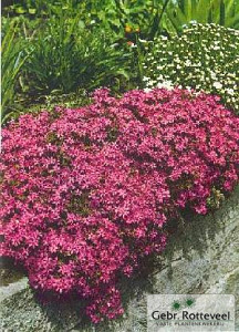 Phlox (S) 'Temiskaming'