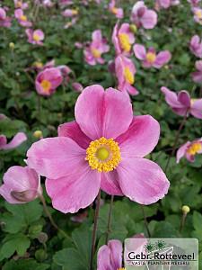 Anemone hup. 'Splendens'