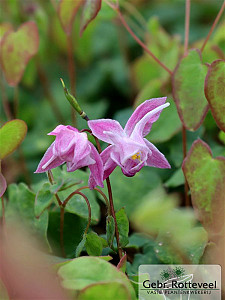 Epimedium grand. 'Akebono'