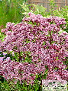 Eupatorium 'Baby Joe'