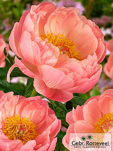Paeonia (HH) 'Coral Charm'