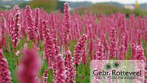 Persicaria aff. 'Donald Lowndes'