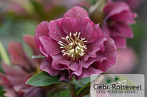 Helleborus or. 'Double Ellen Red'