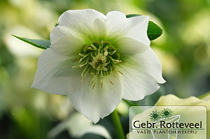 Helleborus or. 'Pretty Ellen White'