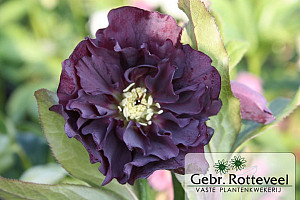 Helleborus or. 'Double Ellen Purple'