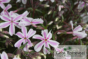 Phlox (S) 'Candy Stripes'