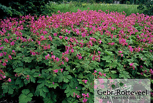 Geranium macr. 'Bevan's Variety'
