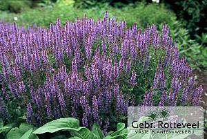 Salvia nem. 'Blauhügel'