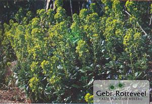 Euphorbia amygdal. robbiae