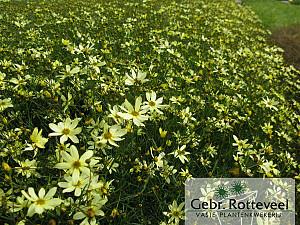 Coreopsis vert. 'Moonbeam'