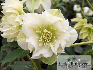 Helleborus or. 'Double Ellen White'