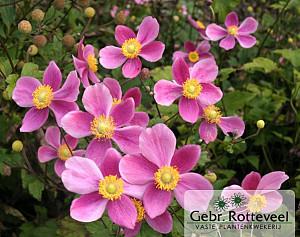 Anemone hyb. 'Bowles' Pink'