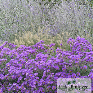 Aster n.-a. 'Purple Dome'